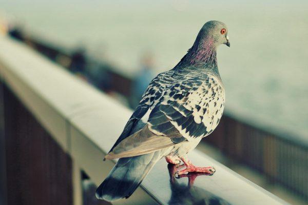 pigeons-bg2